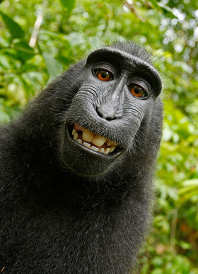 Monkey selfies not protected by copyright!